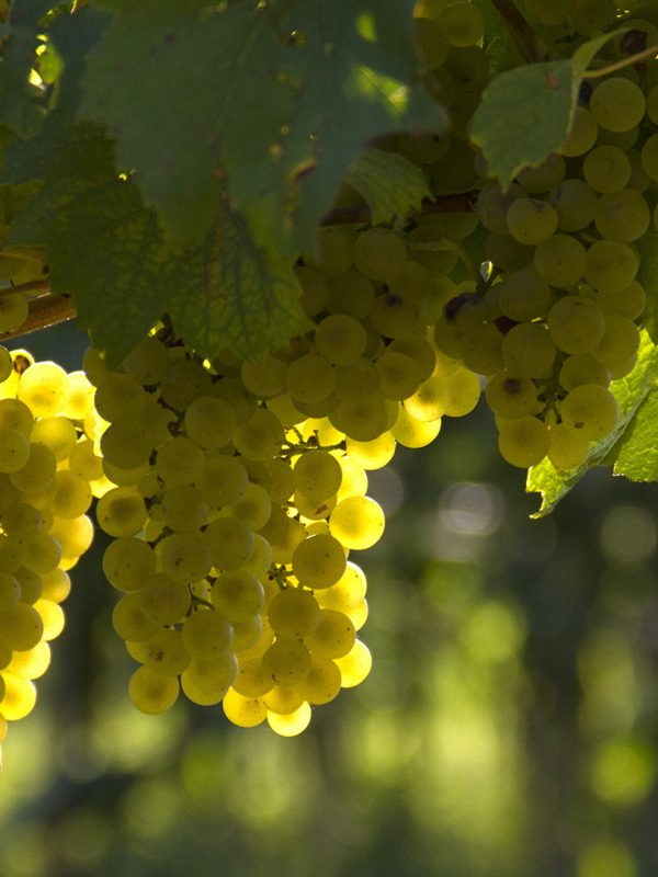 cvanci_0000_tz smz slike 2018_0010_grapes-1758134
